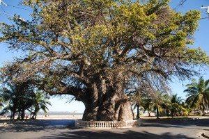 Mahajanga ville Baobab