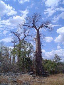 Tsingy de namoroka Baobab