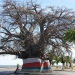 Baobab - Majunga
